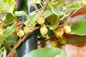 The kiwi fruit - success at last.